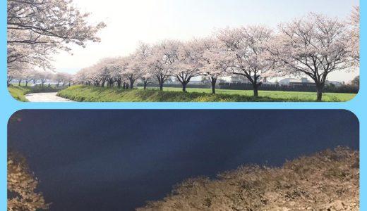 昼の桜と夜の桜・・・♪