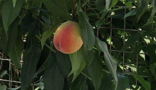 我が家の桃の木