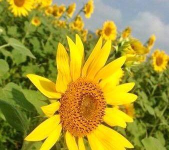 元気な向日葵・・・♪